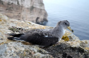 Young Scopoli's Shearwater found stranded in Xlendi on 15/10/2014, before being successfully released at Ta Ċenċ cliffs. Photo by Joe Sultana.
